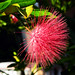 Red Mimosa  (the