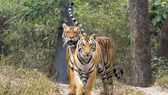 Golden Triangle Tiger Tour (Travel N Tours India - UK) Tags: goldentriangletigers golden triangle tigers goldentriangletigertour goldentrianglewithtigersafari indiagoldentriangletigertour ranthambhore goldentriangleandtigertrail goldentriangletourwithranthambhoretigersafari travelntoursindia india private tour operator destinations jaipur agra delhi tajmahal redfort travel holidays packages trip ranthamborewildlife fatehpursikri