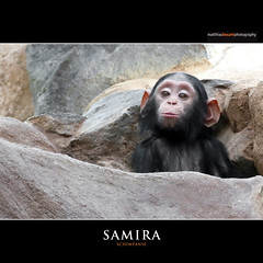 SAMIRA (Matthias Besant) Tags: animal animals look looking tier tiere schauen auge eye augen eyes africa african afrika afrikanisch afrikanische afrikanischer afrikanisches mammal saeugetier orange affen monkey affe ape blick saeugetiere mammals fell apes menschenaffen monkeys chimpanzee pantroglodytes schimpanse primat primaten pan blicken hominidae altweltaffe altweltaffen catarrhini oldworldmonkey oldworldmonkeys trockennasenaffe hominoidea menschenartig menschenartige chimpanzees commonchimpanzee commonchimpanzees gemeineschimpansen gemeinerschimpanse gewoehnlicheschimpansen gewoehnlicherschimpanse robustchimpanzee robustchimpanzees affenblick affenfell baby zoo matthiasbesant samira