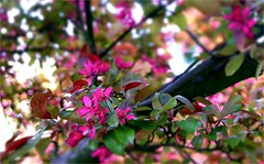 Spring Tree Explosion (farmspeedracer) Tags: spring scenery flower plant jungle pink blossom bloom star bright