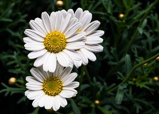 La margarita siempre tiene un pétalo de reserva para los casos desesperados. (The daisy always has a reserve petal for the desperate cases).