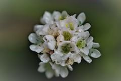 Fresh Dew on White Alpine flowerhead (petershaw4) Tags: dew white flowers alpine