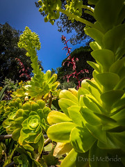 Aoniums Arched Tresco 17 (davidmcbridephotography) Tags: red tresco gardens isles scilly cornwall united kingdom sea water flowers exotic plants succulents escapees landscape sky olympus mcbride dynamic portrait travel holiday destination estate