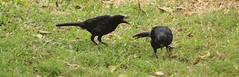 (JennaF.) Tags: animales aves blackbirds cesped hojas secas fauna lima peru universidad antonio ruiz de montoya uarm jardin horacio angry birds
