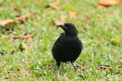 Tordo Sudamericano (JennaF.) Tags: animal ave fauna negro blackbird hojas secas lima peru universidad antonio ruiz de montoya uarm jardin horacio tordo sudamericano