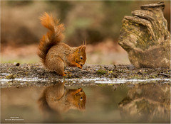 Red Squirrel - Eekhoorn 120517(1*) (Gertj123) Tags: animals mammals water sigma120300mmf28 spring canoneos1dmarkiv squirrel red eating reflection lemelerberg hbn7 mammal