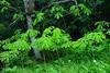 トチの幼樹
