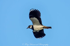 Lapwing in Flight (phat5toe) Tags: lapwing birds avian feathers flight wildlife nature wigan flashes greenheart nikon d7000 tamron150600mm