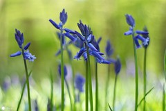 Gone but not forgotten! (Trayc99) Tags: bluebells woodland beautiful beautyinnature beautyinmacro floralart blue flowers spring closeup explore explored