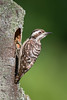 Sunda Pygmy Woodpecker (BP Chua) Tags: bird nature wild wildlife animal woodpecker pygmy asia singpore nest nikon d800e sunda allnaturesparadise