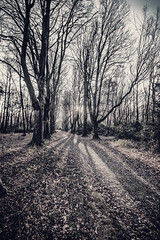 """the path goes on through the trees, past the sun in black & white fine art, Bois de Breuil, Calvados, Normandy, France (grumpybaldprof) Tags: sigma 1020 1020mm f456 """"sigma1020mmf456dchsm"""" canon 70d """"canon70d"""" noiretblanc """"blackandwhite"""" """"blackwhite"""" monochrome bw honfleur normandy normandie france calvados """"boisdubreuil"""" """"forestofbreuil"""" vasouy penndepie conservation """"conservatoiredulittoral"""" rhododendrons """"coastalconservancy"""" bois forest trees deciduous coniferous wood woods coastline """"dukesofnormandy"""" french kings """"philippeauguste"""" breuil wildlife wildboar """"pinemarten"""" """"redfox"""" deer """"forestwalk"""" landscape branches leaves fineart vanishingpoint promenade woodlandwalk path sun light bright winter ethereal"""