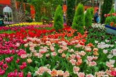 Tulip exhibition in the Flower Dome in the Gardens by the Bay in Singapore (UweBKK (α 77 on )) Tags: tulips flowers blossom tulpen exhibition garden show display gardensbythebay bay flower dome singapore southeast asia sony alpha 77 slt dslr red white orange pink