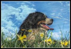 Maximus (patrick.verstappen) Tags: max dog pet animal hdr hond belgium nikon d7100 sigma sweet spring photo picassa pinterest pat ipernity ipiccy imagine yahoo gingelom google flickr facebook