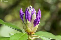 Soon it will be a flower of Rhododendron. (A. Muiña) Tags: flor nature naturaleza color airelibre garden jardín macro macrofotografía nikon nikond90 picture spring desenfoque primavera bokeh decoración