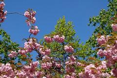 Colours of Spring (Sockenhummel) Tags: hanami kirschbaumallee berlin mauerweg grenzstreifen mauer grenze wiedervereinigung sakura higankirsche sakuracampaign floweringseason blossomtime treeblossom kirschblüten fuji x30 fujifilm finepix fujix30 baum blüte garten landschaft park zierkirschen baumblüte bäume trees