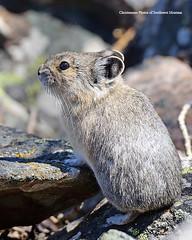 Spring Pika (Photos of Southwest Montana) Tags: pika rock rabbit bunny hare wildlife nature beaverhead spring rocky mountains rockymountains rockies north america american beaverheaddeerlodgenationalforest photosofsouthwestmontana dillon montana bradchristensen