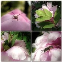 Dream in Pink (Tölgyesi Kata) Tags: mosaic paeonia bazsarózsa withcanonpowershota620 botanicalgarden füvészkert budapest botanikuskert mozaik peony paeony pfingstrosen flower blossom animal fleur virág insect rovar spring tavasz pink