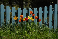 Tulpen am Holzzaun; Meggerdorf, Stapelholm (Chironius) Tags: meggerdorf stapelholm schleswigholstein deutschland germany allemagne alemania germania германия niemcy blüte blossom flower fleur flor fiore blüten цветок цветение liliales lilienartige liliengewächse liliaceae lilioideae tulpen tulipa blau rot gelb explored
