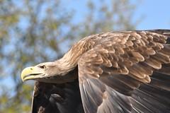 Mean Machine (JerryGoulet) Tags: wildlife nature gauntletbirdsofpreyeagleandvulturepark nikonflickraward eagle hawks england outdoors