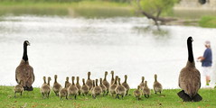 22......count them! (C-O) Tags: may 16co073 legg lake canada geese goslings family nature south el monte ca