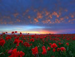 A bit of heart (Robyn Hooz (away)) Tags: papaveri poppies nuvole clouds alba dawn paradise dream passion love wonder meraviglia quartodaltino venezia
