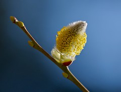 Pussy Willow (Slow Turning) Tags: pussywillow salix catkin flowers inflorescence blooming light spring southernontario stamens