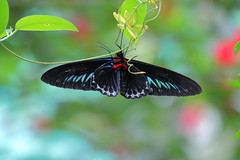Showing off those wings (Infinite Legends) Tags: butterfly insect flying creature nature beaut beautiful canon eos 70d 70300 l lens malaysia park