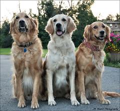 """ All in the Family ! "" (John Neziol) Tags: jrneziolphotography goldenretriever fieldretriever pointynoseddogs interestingdogposes smileofadog dogpark dognose dogtongue portrait pet animal dog dogs outdoor nikon nikoncamera nikondslr family"