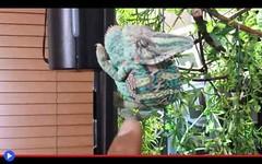 Come trattare il camaleonte arrabbiato (mondoanimale) Tags: rettili animali domestici camaleonti