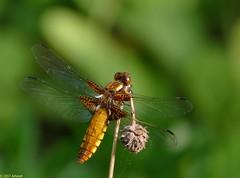 Libel (jehazet) Tags: libel insects insecten inmygarden libelluladepressa platbuik jehazet