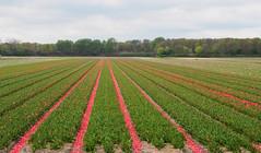 _5040028.jpg (Little Miss Clever Trousers) Tags: tulpen bollenstreek netherlands tulipfields northhollandholland