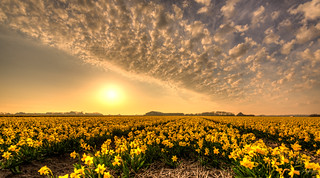 Fields of golden daffodils.
