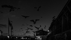 "Flown away / ""Steal the warm wind tired friend..."" (Özgür Gürgey) Tags: 169 2017 20mm bw cornell d750 darkcity karaköy nikon voigtländer blur evening grainy lowlight motion seagull istanbul turkey cropped"