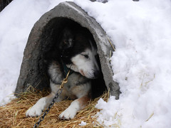 Dog in igloo (lmundy2002) Tags: dogs dogsled dogsledding huskies sleds whitefish olney whitefishmt olneymt montana mt winter wintersports