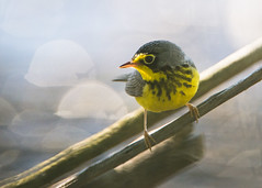 Canada Warbler_Lake_Sunset (Thomas Muir) Tags: cardellinacanadensis tommuir songbird art outdoor nikon d800 200400mm nature animal male mageemarsh lakeerie ohio oakharbor lake spring migration