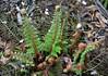 130515 fN 170528 © Théthi (thethi (pls, read my 1st comment, tks a lot)) Tags: nature plante fougère flore juin namur wallonie belgique belgium setjuin setmorethan20forexplore20122013 setnamurcity faves37 setvegetaux ruby10