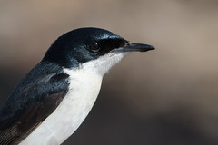 Restless Flycatcher (Myiagra inquieta) (Ian Colley Photography) Tags: restlessflycatcher myiagrainquieta inverell bird backyard portrait canoneos7dmarkii 500mm