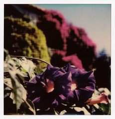 Morning Morning Glory (tobysx70) Tags: the impossible project polaroid slr680 frankenroid sx70 door rollers color film for 600 type cameras beta 30 3 0217 pioneer member test impossaroid roidweek roid week polaroidweek spring april 2017 morningmorning morning glory beachwood canyon drive hollywood hills los angeles la california ca flower purple petals green leaves pink bougainvillea bokeh reject toby hancock photography
