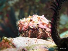 IMG_5271 (marc.ruis) Tags: myanmar diving hermit crab
