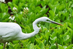 20170425_01_great egret ( Ardea alba ) (foxfoto_archives) Tags: great egret alba ardea ダイサギ 白サギ 白鷲 ライト・バズーカ ライトバズーカ sigma sd quattro 100400mm f563 dg os hsm c017 developed by photo pro 652 foveon spp652 spp65 spp6 spp japan chiba ichikawa 日本 千葉 市川 light bazooka