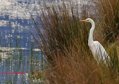 Great white egret surveys the scene 27-03-2017 (Ted Humphreys Nature) Tags: greatwhite egret egrets herons spain tedhumphreysnature