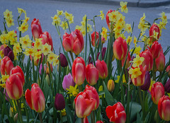Tulips and daffodils in Helsingborg (frankmh) Tags: plant flower tulip helsingborg skåne sweden outdoor daffodil