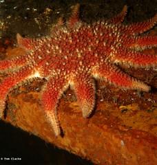 Sunstar (Oikoman) Tags: sunstar echinoderm diving scuba farnes uk somalia wreck