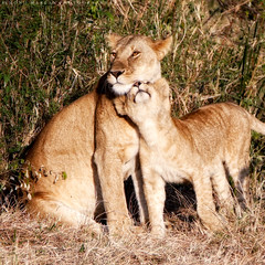 Of course you love me (simonjmarlan) Tags: lions serengeti africa wildlife cute cats