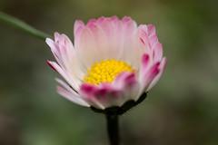 Gänseblümchen - Daisy (riesebusch) Tags: berlin garten marzahn