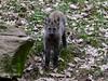 Mähnenwölfchen - Tiergarten Nürnberg - 21.03.2017 -II (ElaNuernberg) Tags: tiergartennürnberg nurembergzoo zoo zooanimals zootiere mähnenwolf chrysocyonbrachyurus
