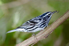 Black and White Warbler (tresed47) Tags: 2017 201704apr 20170430chestercountymisc birds blackandwhite canon7d chestercounty content extonpark folder pennsylvania peterscamera petersphotos places takenby us warbler ngc