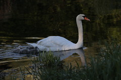 Prime luci... (carlo612001) Tags: swan sweet chick chicks natura cigno pulcini pulcino wildlife river riflessi