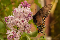 Swallowtail & Lilac (Back Road Photography (Kevin W. Jerrell)) Tags: swallowtail butterflies nikond60 nature lilac spring backyardphotography beautiful colorful thingsthatfly insects lavender