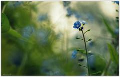 Douceur bretonne bleue... (On Explore! Merci! Thanks!  :-) (Nanouch@) Tags: fleur fleurs flower flowers nature bleu blue flor flores natura macro bokeh light lumière luz